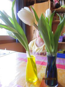 Nehmen die Tulpen die Farbe des Wassers an?